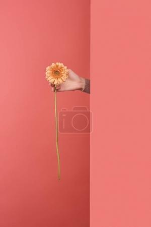 在红色的墙壁后面的妇女伸出黄色非洲菊花