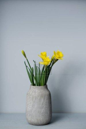 花束黄色水仙花在花瓶里,与灰色的背景和文字的空间隔离在一起