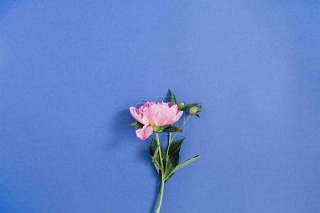 美丽的牡丹花卉