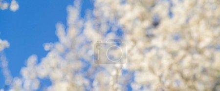 在模糊的自然背景的樱花。春天的花朵。景春背景